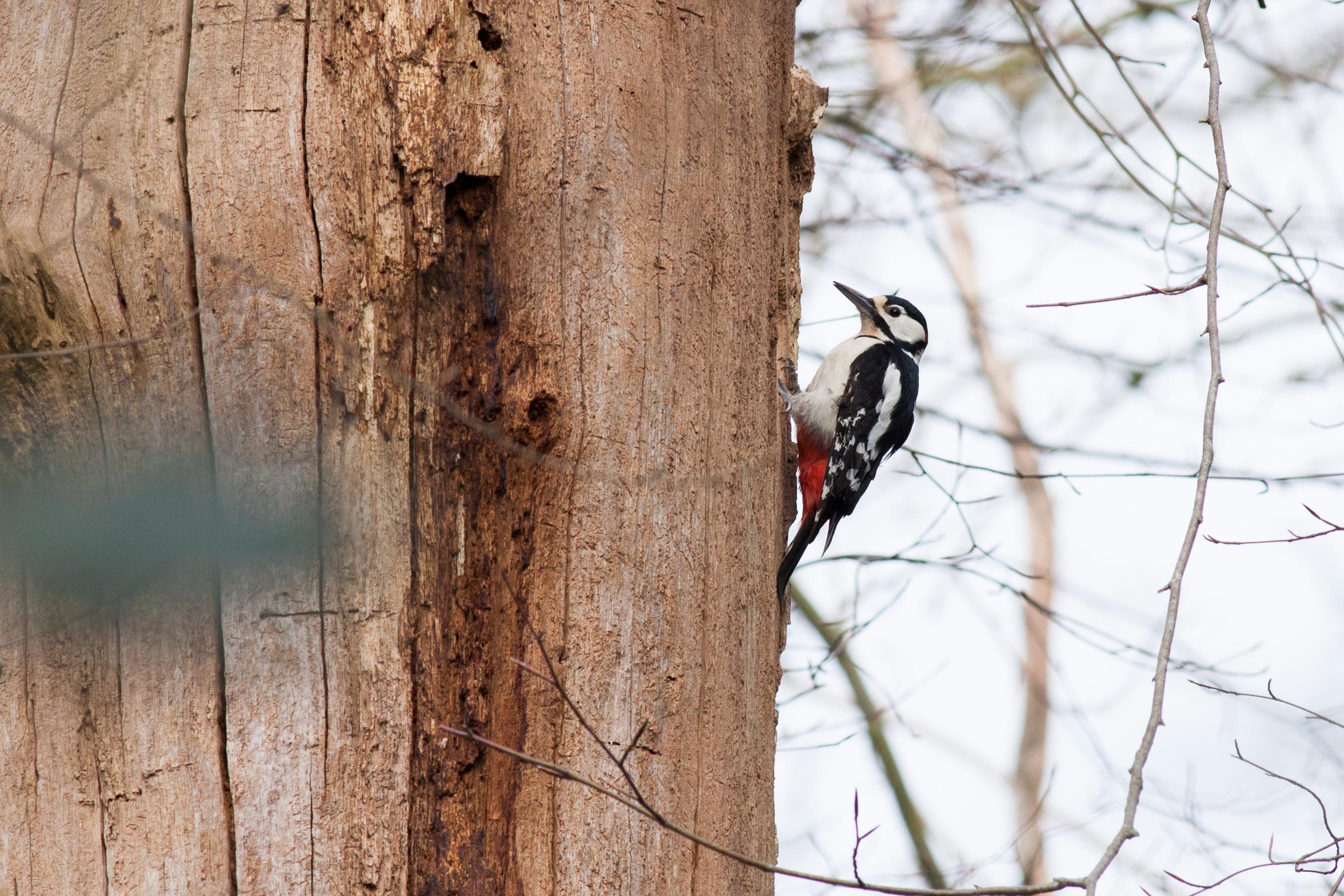 gs woodpecker 2