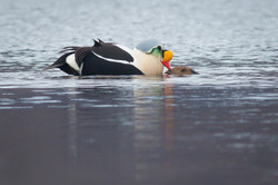 King Eiders mating