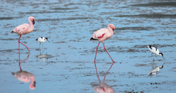 Lesser Flamingos and Avocets