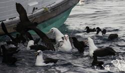 Albatrosses and Petrels
