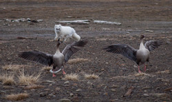 Arctic Fox chasing Pink-Footed Geese