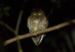 Ryukyu Scops Owl