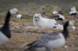 Arctic Fox and Barnacle Geese