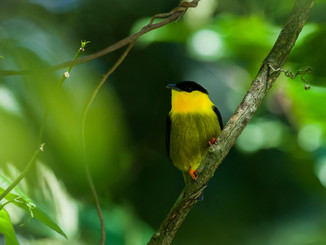 Jungle Birds Of Panama