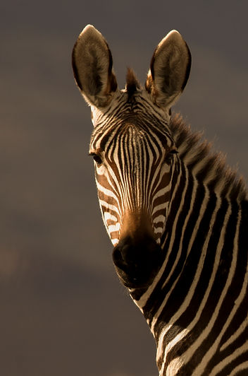 IMG_1533 cape mountain zebra.JPG
