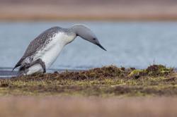 Female approaching nest