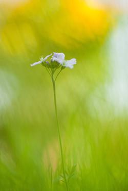 Meadow Cress