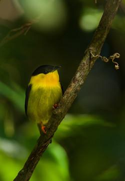 Golden-Collared Mannakin