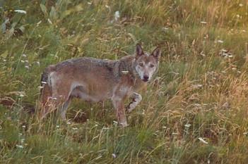 Apennine Wolf