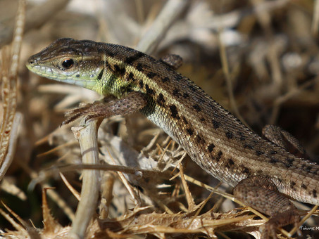 Snake-eyed lizard (Ophisops elegans)