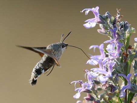 Hummingbird hawk-moth (Macroglossum stellatarum)