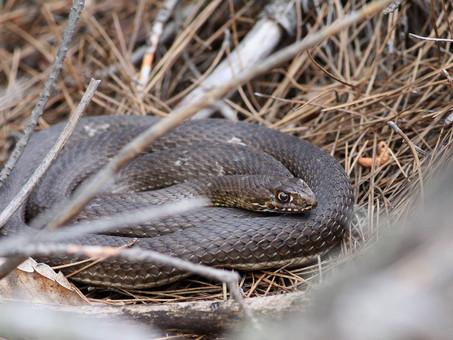 Εastern Montpellier snake (Malpolon insignitus)