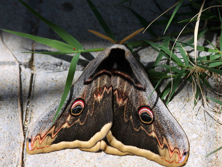 Great peacock moth (Saturnia pyri)