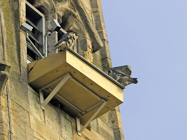 Norwich Cathedral peregrine box 220512 (