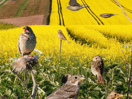 Incidental birds in farmers' life stories