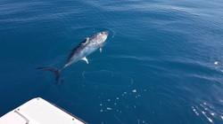 Pêche thon Côte d'Azur