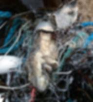 Ghost Net Catshark.jpeg