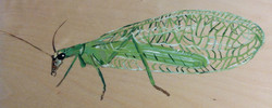 Lacewing fly