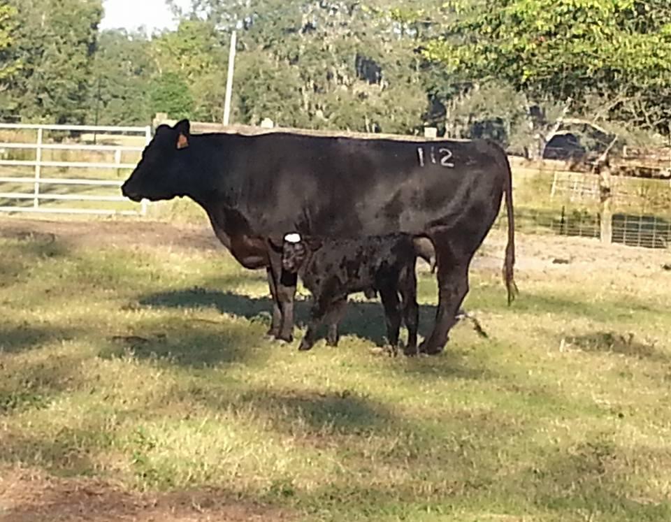 #112 steer ,Sim-Angus,Sire A+