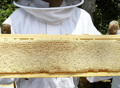 Observing a frame of capped honey from one of our honey bee hives.