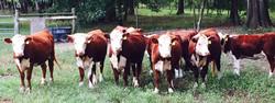 GNP heifers