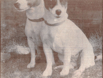 Jack Russell Terriers -- Jekyll and Hydes of the Dog Kingdom