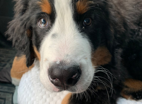 Introducing McConkey the Therapy Dog (in training)