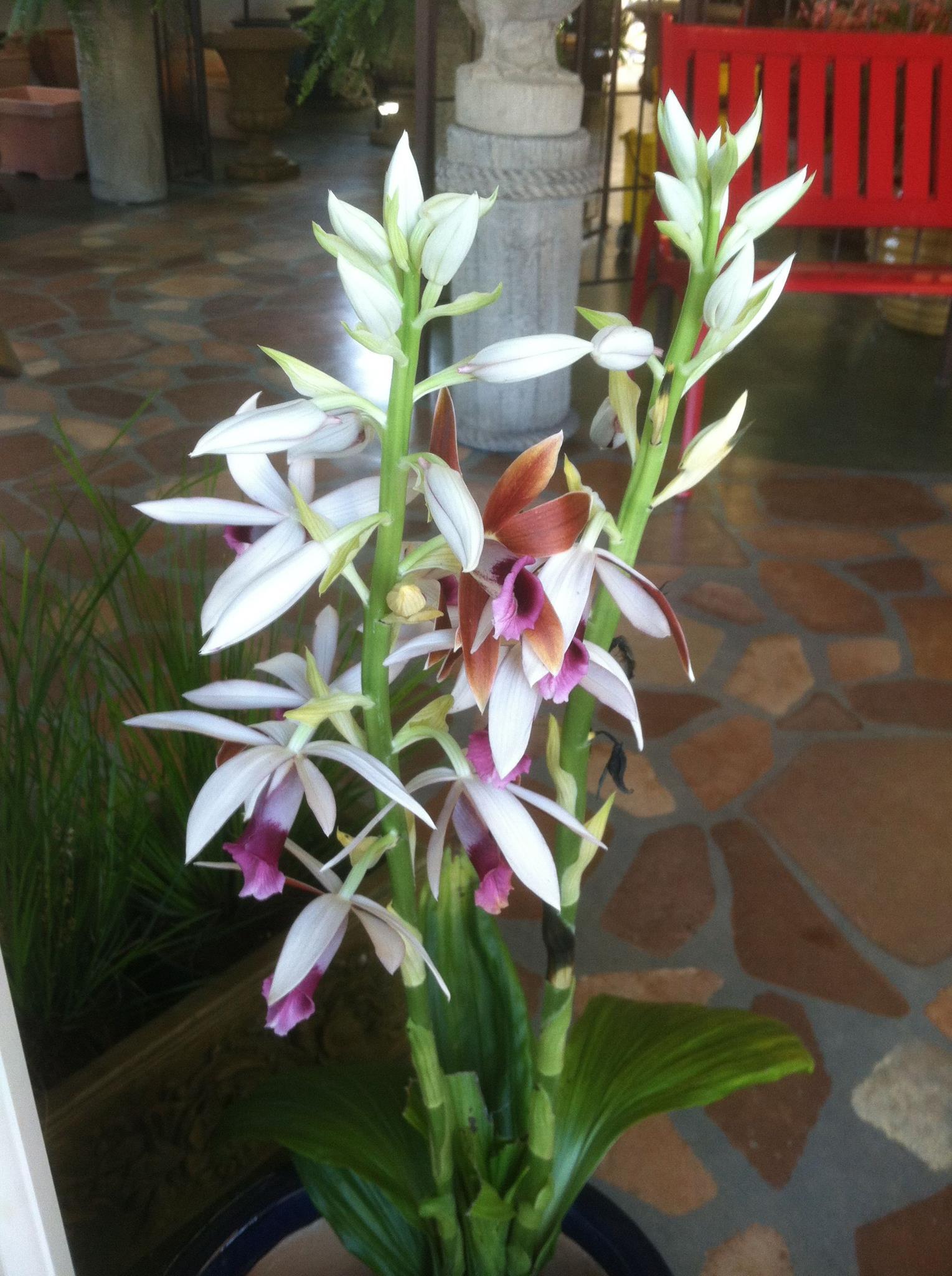 Nun's Cap Orchid