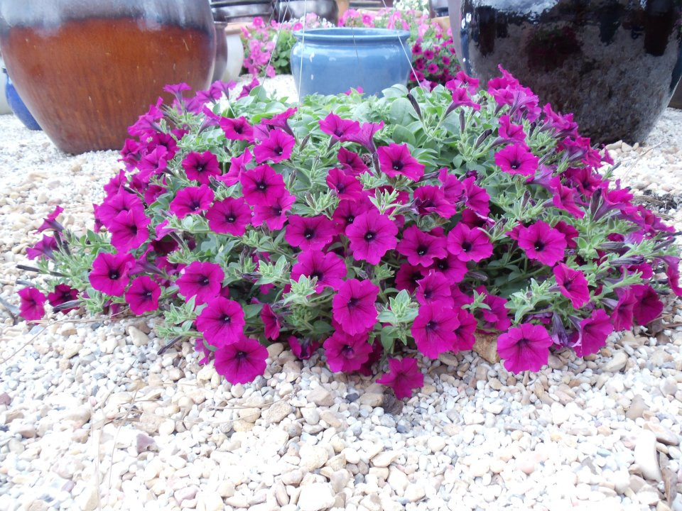 Supertunia Basket