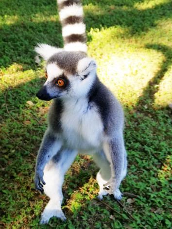 Ring Tail Lemur 3.jpg