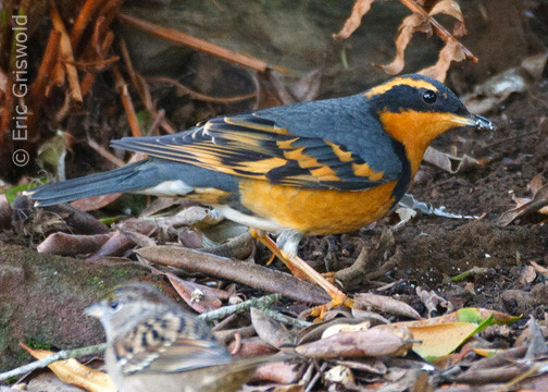 Varied Thrush  eric griswold