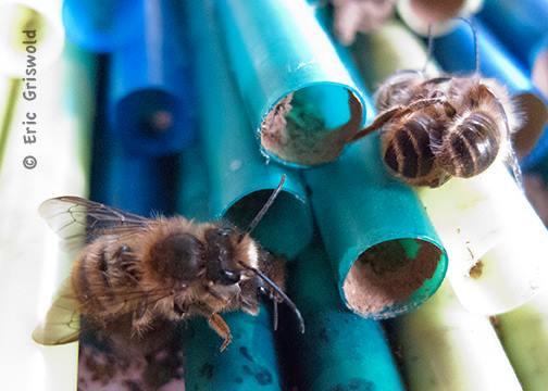mason bees on straws