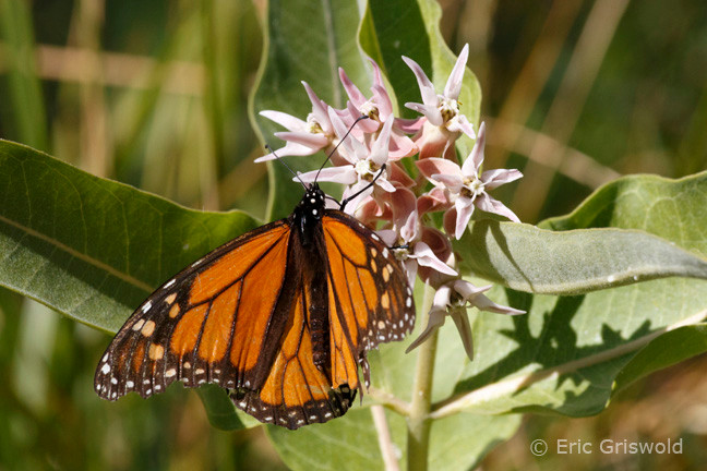 Monarch Butterfly on Milkweed in Eastern Oregon