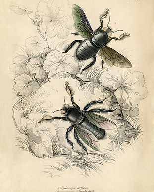 Natural-History-Printable-Bees-GraphicsF