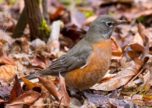 American Robin  eric griswold