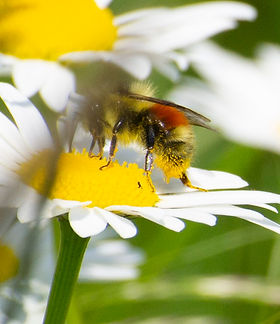 hunt bumble bee.jpg