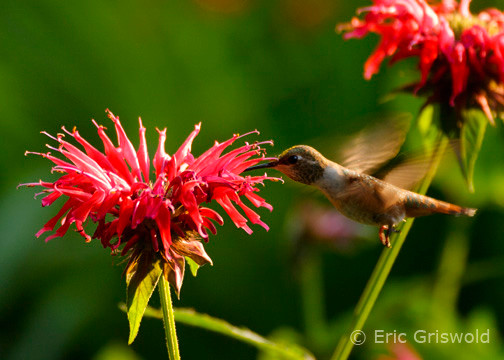 Monarda with Hummingbird
