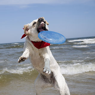 action dog catching frisby.jpg