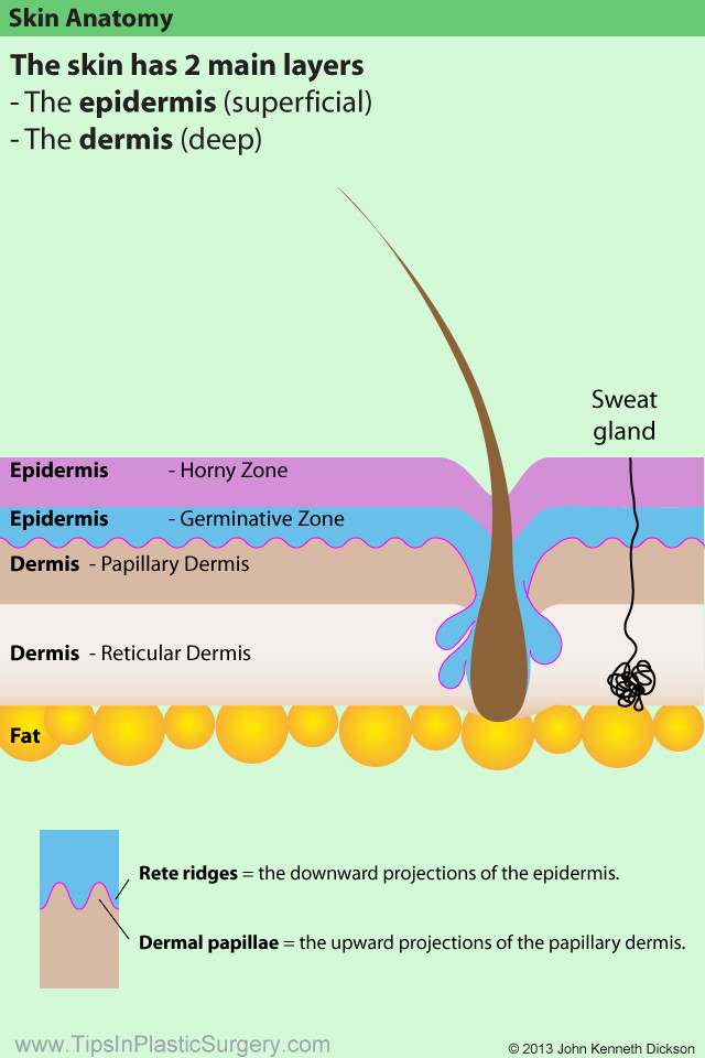 Tipsinplasticsurgery Skin Anatomy