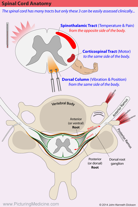 Spinal Cord Anatomy