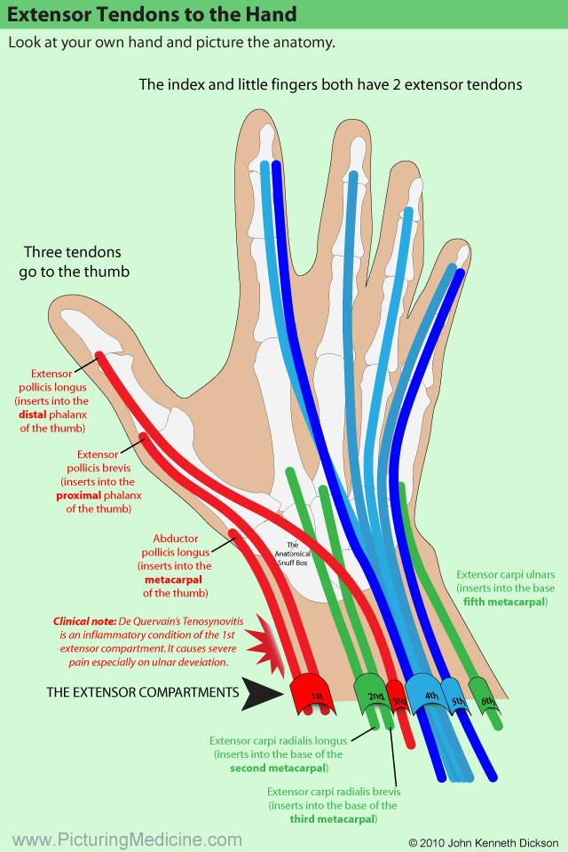 Thumb Extensor Tendon Anatomy Image collections - human body anatomy
