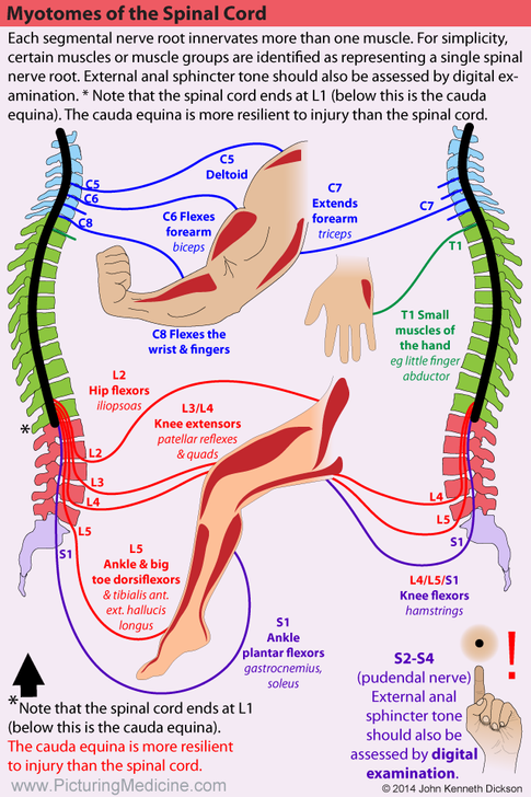 Myotomes of the Spinal Cord