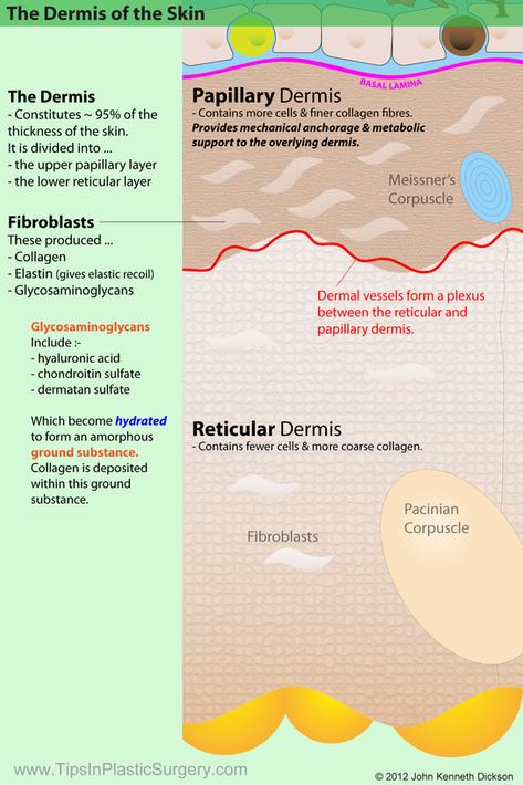 Papillary and Reticular Dermis