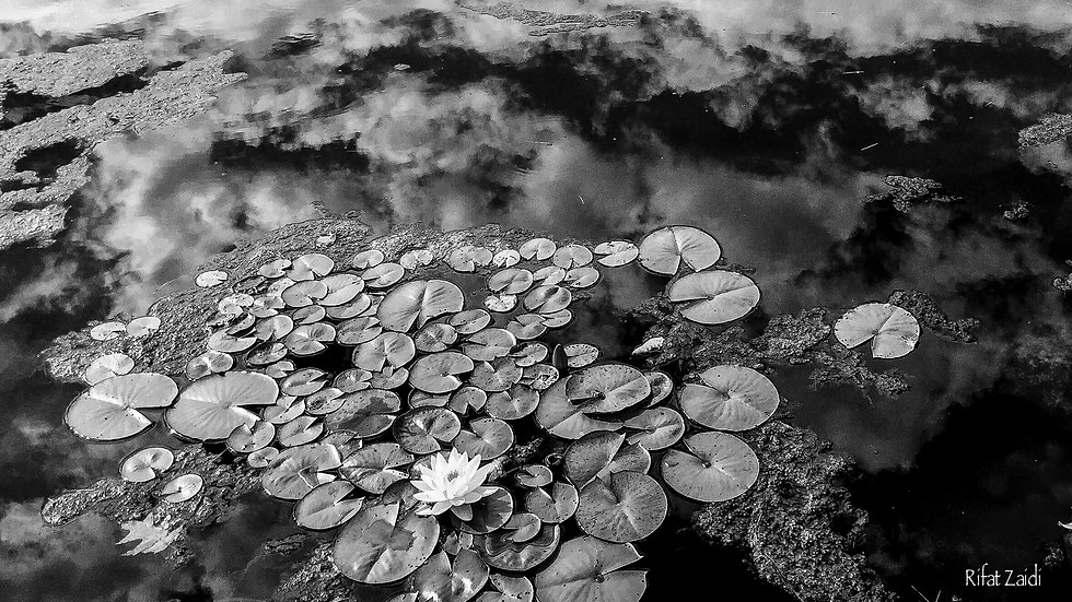 Lily Pads and clouds in pool.B&W