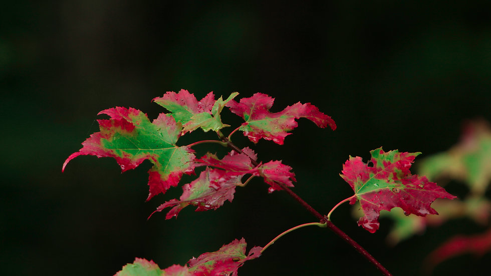 Red Rimmed Leaves