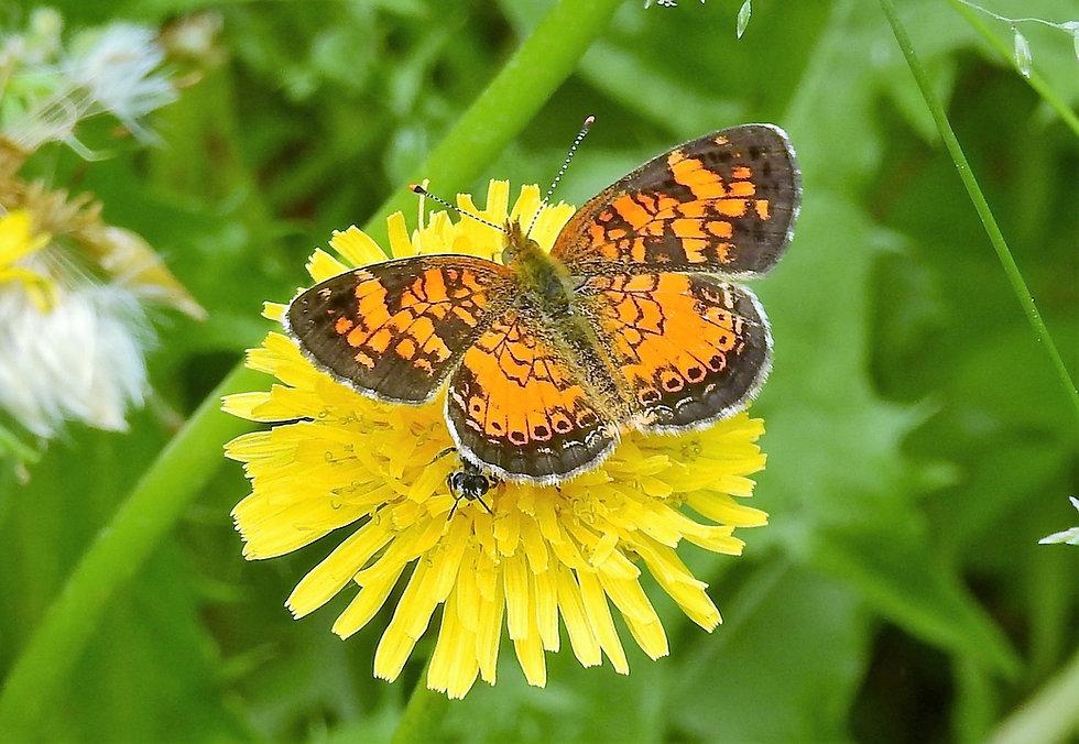 butterfly on dandelion