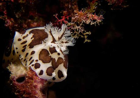 Doris dalmatienne