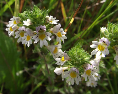 Eyebright for winter cures and allergies