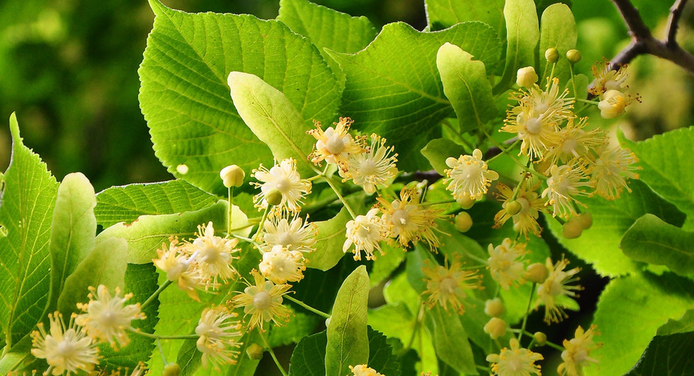 Canva - Flowers of a Linden Tree.jpg
