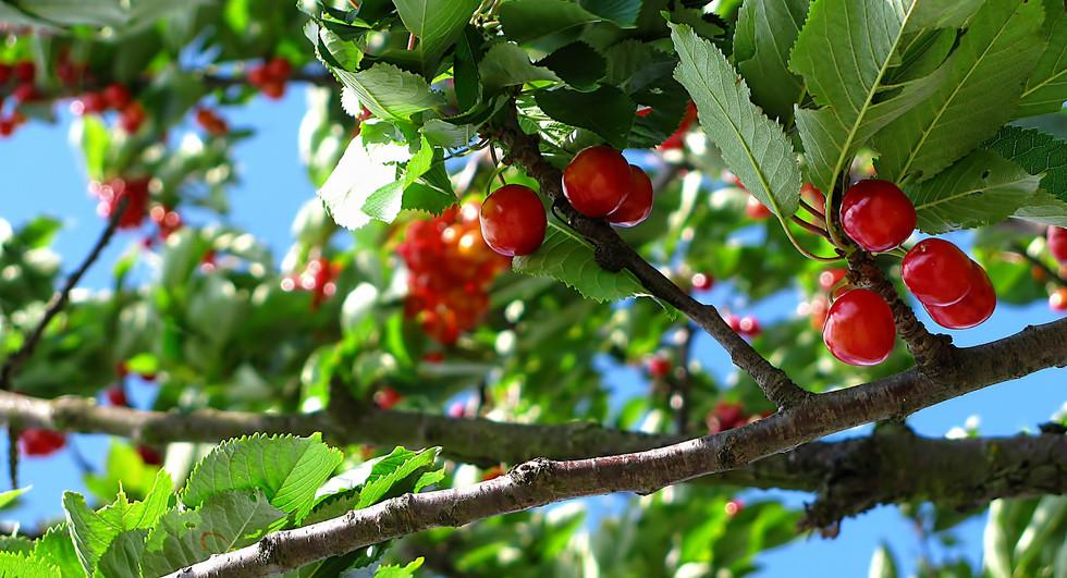 Canva - A Bunch of Cherries.jpg